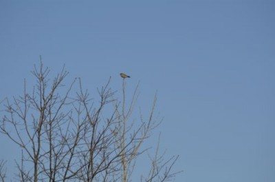 Photo of Mystery Bird in Tree at Lakeside Park Mississauga ON February