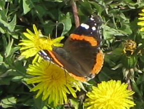 Photo of Red Admiral Butterfly on Dandelion Toronto ON April