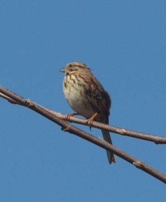 Photo of Song Sparrow Rattray Marsh Mississauga ON March