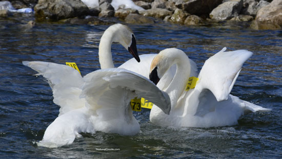 Photo of Trumpeter Swans Settling Lake Ontario March on NaturalCrooksDotCom