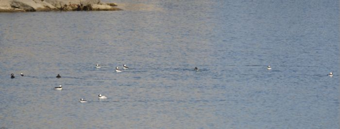 Photo of Bufflehead and Friend Col Sam Smith Pk Etobicoke ON March on NaturalCrooksDotCom