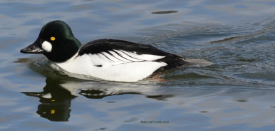 Photo of Common Goldeneye LaSalle Marina ON March on NaturalCrooksDotCom
