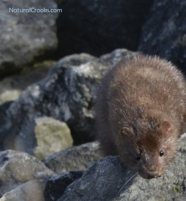 Photo of Mink Hunting Lake Ontario March on NaturalCrooksDotCom