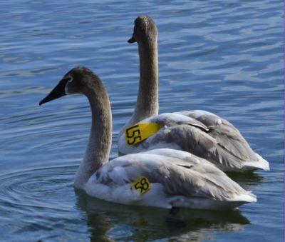 Photo of Trumpeter Swan Juveniles LaSalle Park ON on NaturalCrooksDotCom