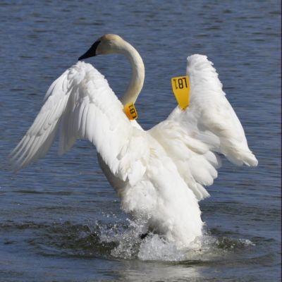 Photo of Trumpeter Swan Rearing Burlington Ontario March on NaturalCrooksDotCom
