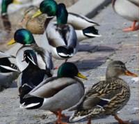 Photo of Wood Duck Mallards LaSalle Marina ON on NaturalCrooksDotCom
