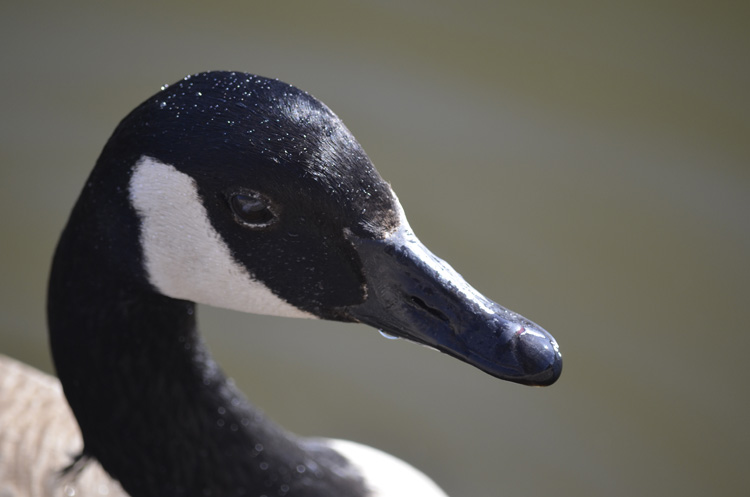 Photo of Canada Goose Intelligent on NaturalCrooksDotCom