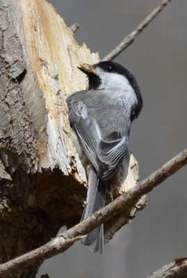 Photo of Chickadee Digging on NaturalCrooksDotCom