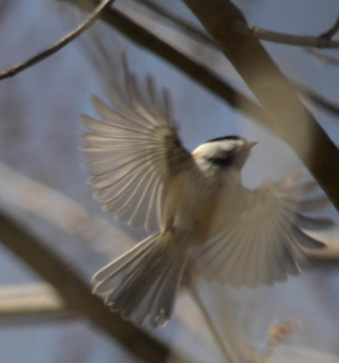 Photo of Chickadee in Flight Rattray Marsh April on NaturalCrooksDotCom