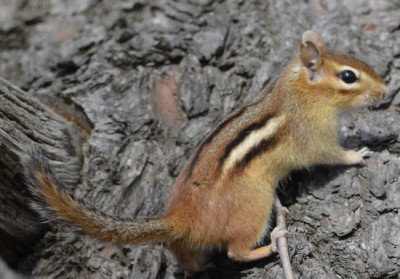 Photo of Chipmunk on NaturalCrooksDotCom