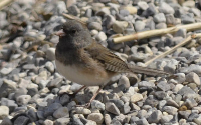 Photo of Dark Eyed Junco on NaturalCrooksDotCom
