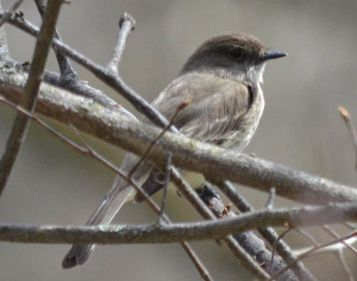 Photo of Eastern Phoebe on NaturalCrooksDotCom