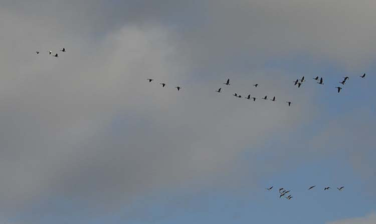 Photo of Geese Flight Oakville ON April on NuralCrooksDotCom