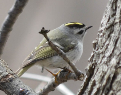 Photo of Golden Crowned Kinglet Female on NaturalCrooksDotCom