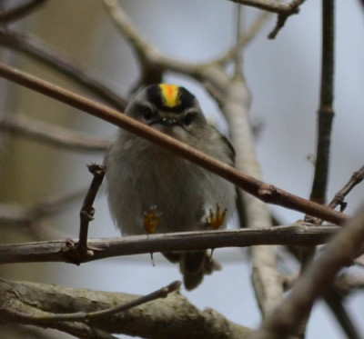 Photo of Golden Crowned Kinglet Male Landing on NaturalCrooksDotCom