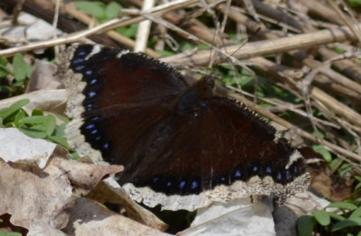 Photo of Mourning Cloak on NaturalCrooksDotCom