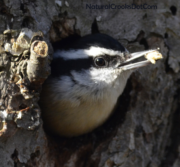 Photo of Red Breasted Nuthatch Beak Full on NaturalCrooksDotCom