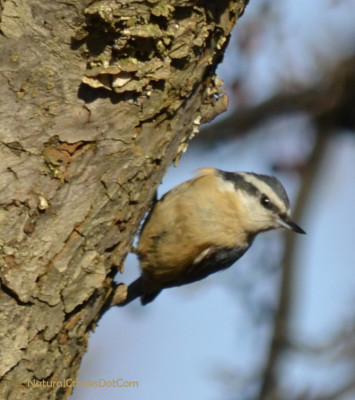 Photo of Red Breasted Nuthatch Crabapple on NaturalCrooksDotCom