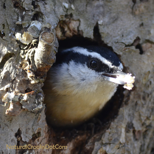 Photo of Red Breasted Nuthatch Nest Building on NaturalCrooksDotCom