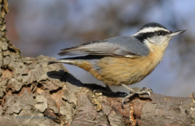 Photo of Red Breasted Nuthatch Toronto ON on NaturalCrooksDotCom