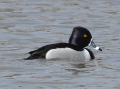 Photo of Ring Necked Duck Male April on NaturalCrooksDotCom