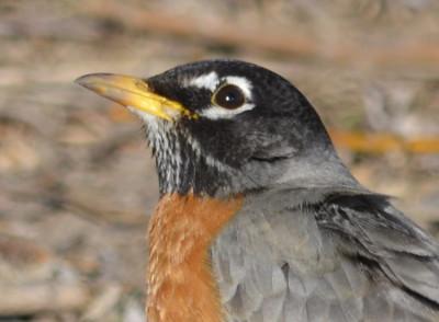 Photo of Robin Male Brown Eyes on NaturalCrooksDotCom