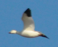 Photo of Snow Goose White Phase on NaturalCrooksDotCom