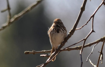 Photo of Song Sparrow Rattray Marsh April NaturalCrooksDotCom