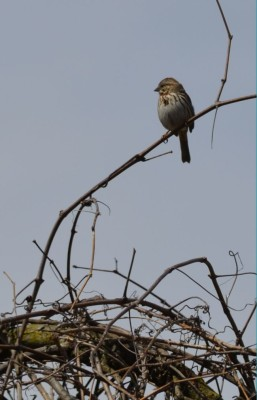 Photo of Song Sparrow in Song on NaturalCrooksDotCom