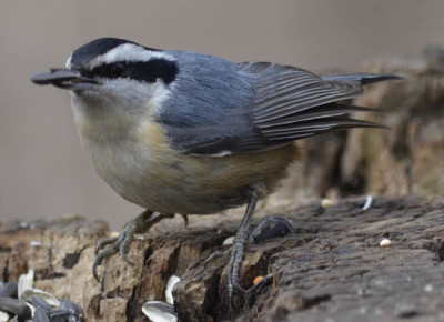 Photo of White Breasted Nuthatch on NaturalCrooksDotComS