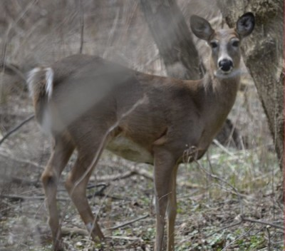 Photo of White Tailed Deer on NaturalCrooksDotCom