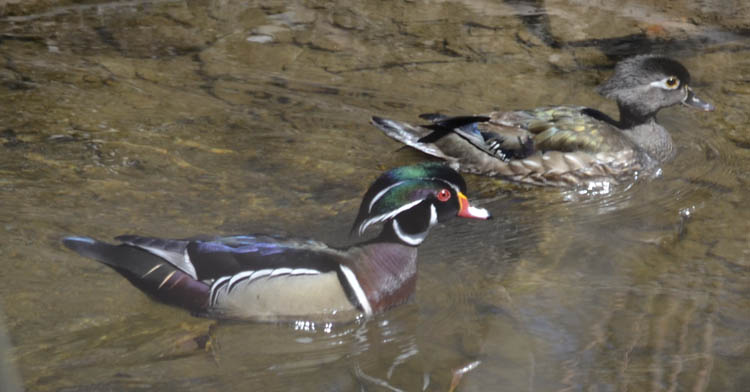 Photo of Wood Duck Pair April Ontario on NaturalCrooksDotCom