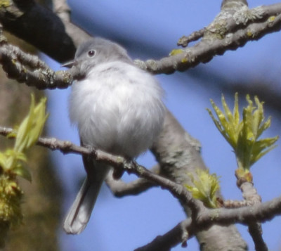 Photo of Blue Grey Gnatcatcher Female Resting on NaturalCrooksDotCom