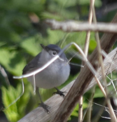 Photo of Blue Grey Gnatcatcher Male on NaturalCrooksDotCom