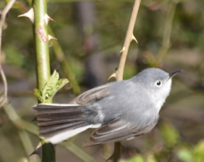 Photo of Blue Grey Gnatcatcher White Tail on NaturalCrooksDotCom