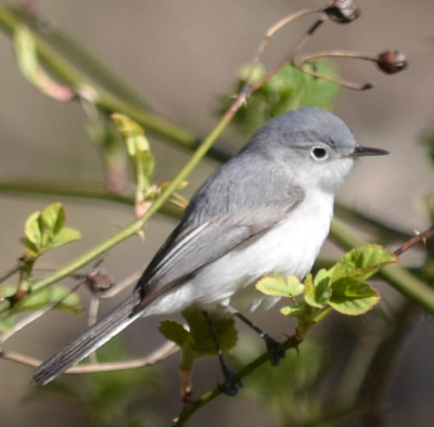 Photo of Blue Grey Gnatcatcher Female Thorny Perch on NaturalCrooksDotCom