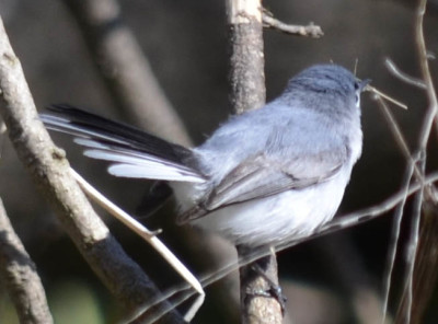 Photo of Blue Grey Gnatcatcher on NaturalCrooksDotCom