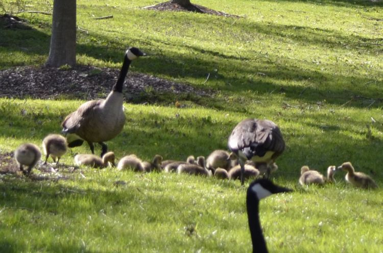 Photo of Canada Goose Families on NaturalCrooksDotCom