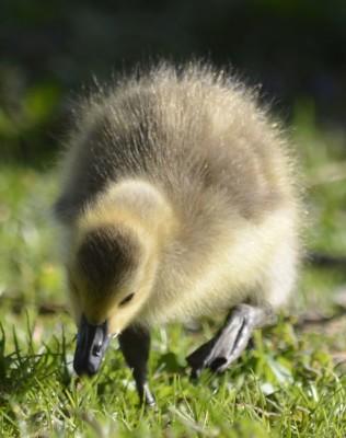 Photo of Canada Gosling Stalking Grass on NaturalCrooksDotCom