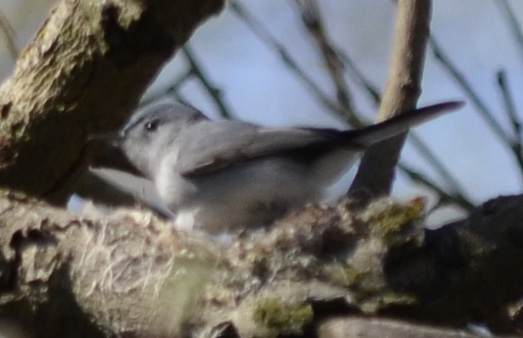 Photo of Gnatcatcher Possible Nest on NaturalCrooksDotCom