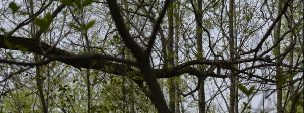 Photo of Gnatcatcher Nest on Branch on NaturalCrooksDotCom