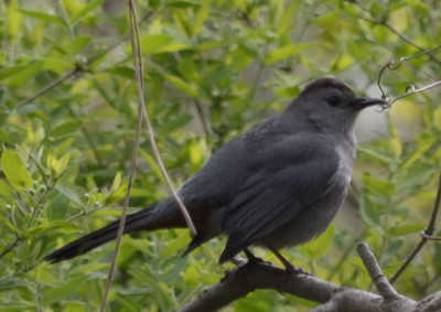 Photo of Gray Catbird 2 on NaturalCrooksDotCom