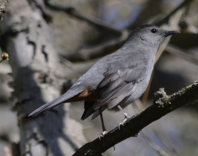 Photo of Gray Catbird on NaturalCrooksDotCom