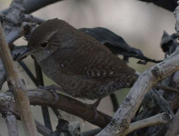 Photo of House Wren on NaturalCrooksDotCom