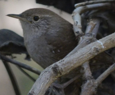 Photo of House Wren Head on NaturalCrooksDotCom