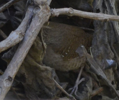 Photo of House Wren Wing Leg on NaturalCrooksDotCom