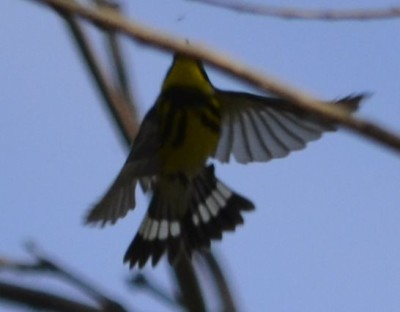 Photo of Magnolia Warbler Tail Stripe on NaturalCrooksDotCom