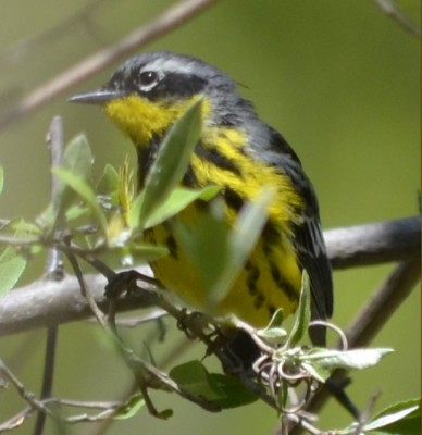 Photo of Magnolia Warbler on NaturalCrooksDotCom