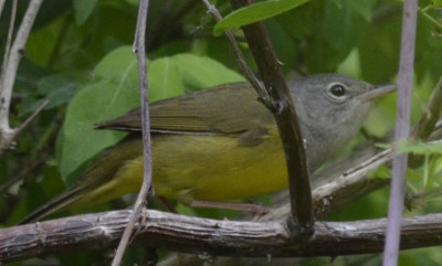 Photo of Mourning Warbler Female Wings On NaturalCrooksDotCom