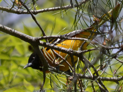 Photo of Northern Oriole Male on NaturalCrooksDotCom